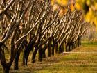 Yapraksız Ağaçlar