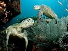 Yeşil Deniz Kaplumbağası Yapbozu