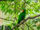 Yeşil Papağan Yapbozu